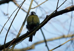 Coal Tit in Russia Dock Woodland