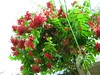 Flower 1 (kvkv) Tags: bloom creeper malli rangoon indica quisqualis
