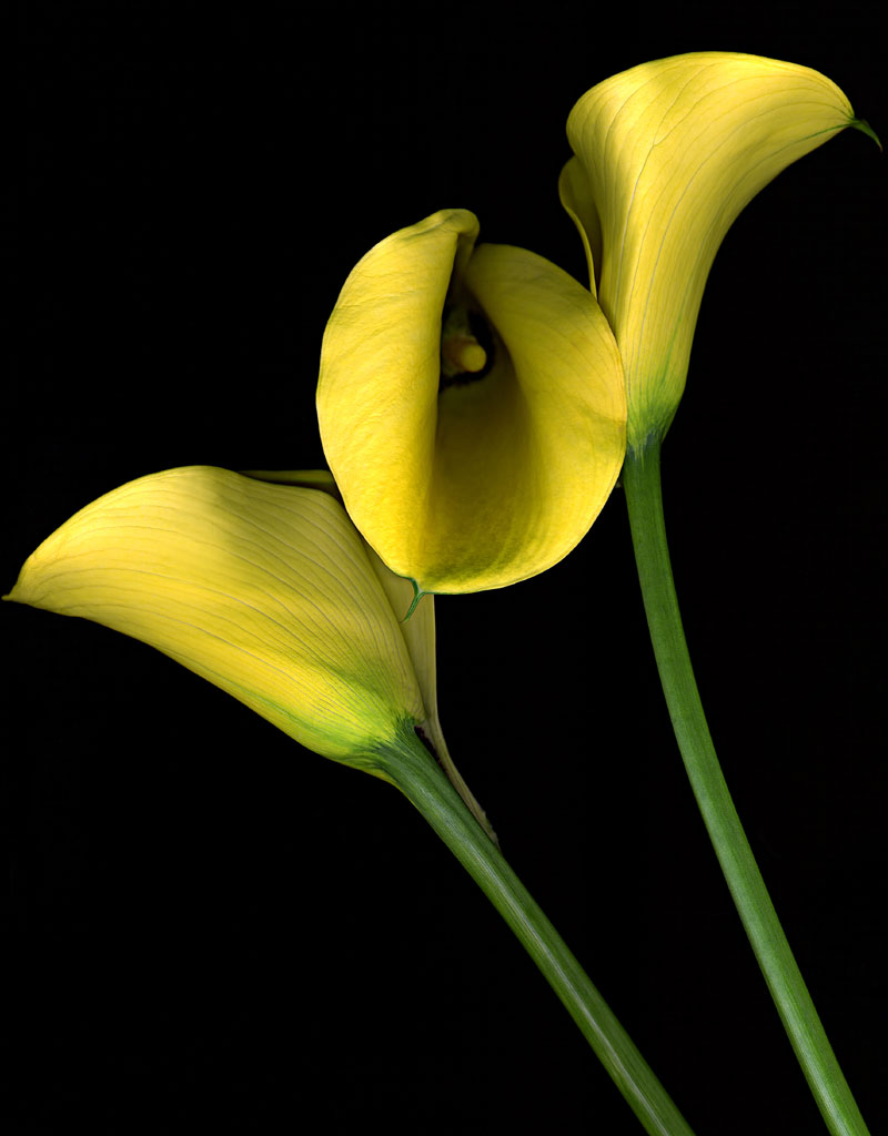 three_yellow_calla.1024