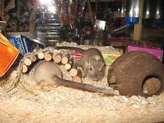 Lilli ja Amanda (Jaanuli) Tags: gerbil gerbils gerbiili gerbiilit