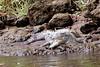 crocodile-jaco-costa-rica_1 (1) (mikebaird) Tags: costarica crocodile jaco mikebaird bairdphotoscom