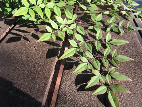 image Nandina domestica 'Purple Passion' doubly pinnate leaves