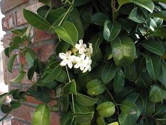 Madagascar Jasmine (Stephanotis)