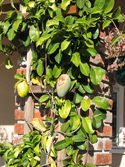 Jasmine (Stephanotis) with fruit