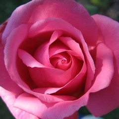 pink embrace (frappu) Tags: pink flower rose canon spiral a95 rosa powershot coil nopostproduction powershota95