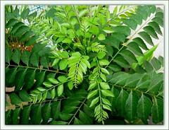 Potted Curry Leaf Plant (Murraya koenigii) at our backyard