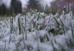 Sprietjes met een dekentje. (sissi de kroon) Tags: winter urban white snow cold macro home grass garden organic tuin edible permaculture eko jirnsum eetbaar mylawn permacultuur