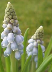 Grape Hyacinth (Kirsten M Lentoft) Tags: blue flower spring hyacinth grapehyacinth flowerscolors momse2600 kirstenmlentoft