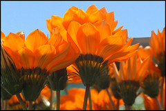 orange (EssjayNZ) Tags: newzealand 15fav orange flower color 1025fav petals with searchthebest bluesky petal 2550fav nothing essjaynz naranja tirau 2007 rhymes redshed gardencenter blueribbonwinner 20faves blorenge i500 rhymeswithorange netneutrality 25faves abigfave impressedbeauty taken2007 interesingness115 cmwd cmwdorange matters2me sarahmacmillan