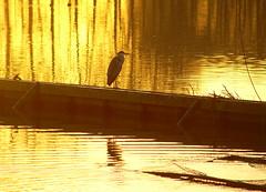Heron (Harry Mijland) Tags: holland heron gold bravo utrecht nederland alpha reiger a100 goud maarssen vecht oudzuilen dearharry harrymijland
