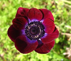 Cultivated anemone -   (yoel_tw) Tags: bokeh anemone  flickrsbest abigfave exquisiteflowers comesmelltheflowers