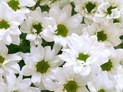 White flowers (OneEyedCube) Tags: flowers white green nature flora 10faves
