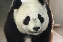 Mr. fluffy cheeks (somesai) Tags: animal animals smithsonian panda tai pandas taishan butterstick