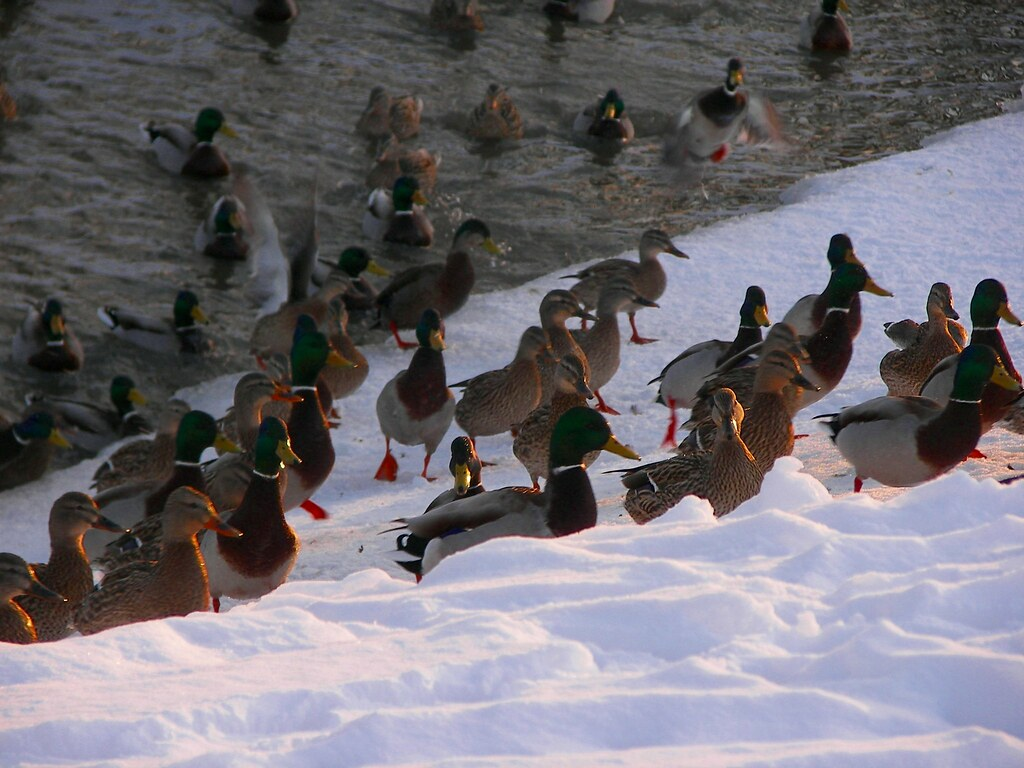 Flock of mallard ducks in the snow along a creek in Toledo, OH