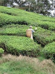 Tea harvesting, BOH Tea Plantation, Cameron Highlands (Sunshine Monkey) Tags: malaysia cameronhighlands teaplantation boh