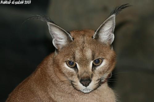 حركة الأذن عند الحيوانات المختلفة 395612842_cfb5017f49