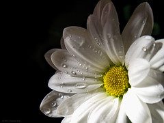 Margarita (P10NERO) Tags: light sun flower color macro sol wet water lafotodelasemana drops flor olympus margarita e330 abigfave aplusphoto lfs022007 p10blog
