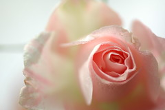 Rose (yoshiko314) Tags: pink flower rose closeup drop droplet whiteground palepink 55mmf28aismicro