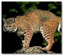 bobcattail