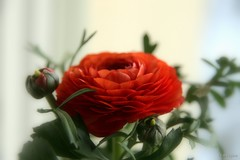 Ranunculus (♥ B i b b i ♥) Tags: red flower canon flora sweden ranunculus blomma sverige 2007 30d hässelby röd ranunkel canon30d sigma1770mmf2845dcmacro redforthepeopleofburma