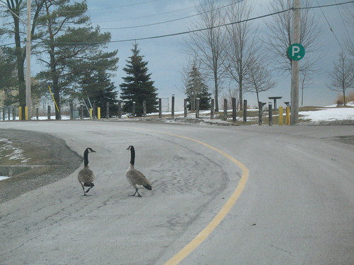 Do You We Should Lead the Flock Across the Road?