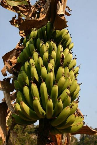 Bananas in Vieng Xai.