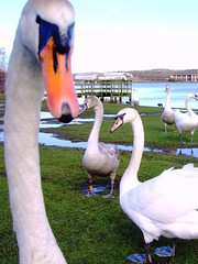Would you stop nosing about Harold and come on... (Lidwit) Tags: lake nature water birds geotagged scotland pond wildlife north swans loch cumbernauld lanarkshire naturescene broadwood