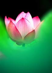 LOTUS) (nobuflickr) Tags: flower japan lotus rvp naturesfinest impressedbeauty flickrdiamond mimurotoderatemple 807
