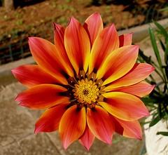 Petali, lamelle e piume (Cinzia A. Rizzo / fataetoile) Tags: red orange flower yellow giallo fiore rosso arancione olympussp320 abigfave anawesomeshot flickrdiamond