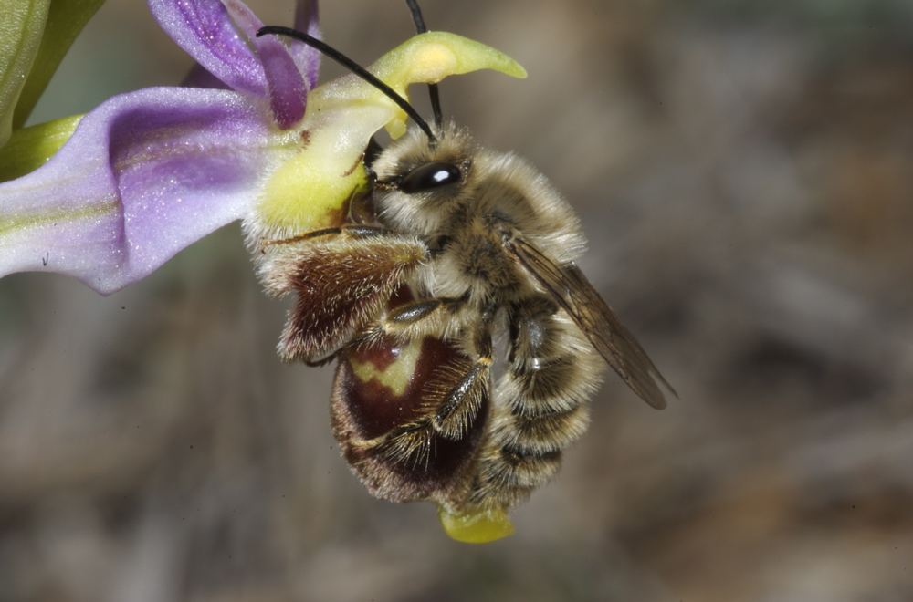 Andrena nigroaenea 427049828_2e17b15c4f_o