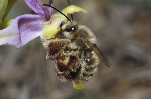 Ophrys scolopax 427049828_80a35e0036_d