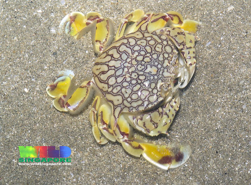 Reticulated moon crab (Matuta planipes)