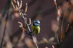 Blaumeise/bluetit/ (Otmar Smit) Tags: nature birds animal ilovenature wildlife ostfriesland 2007 emden eastfrisia specanimal animalkingdomelite
