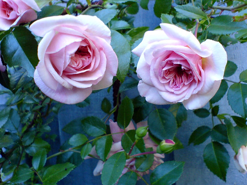 Two roses at dusk, by Andrea Gerak