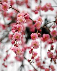 Mankai (okamesuke2000) Tags: ume plumblossoms naturesfinest