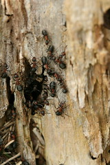 Southern wood ants (~Lyanna~) Tags: insects ants formicarufa