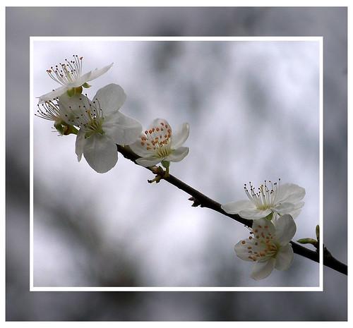 Badbury Blossom