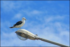 (silkegb) Tags: blue bird nature lamp azul fauna pajaro farol gaviota