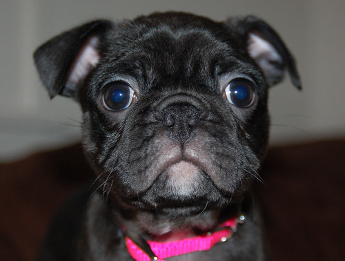 The Dognabbit Dog Blog: Violet - Boston Terrier Pug!