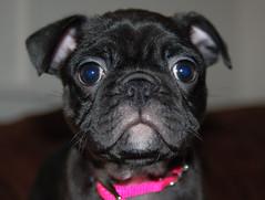 Baby Violet (MomCraptastic) Tags: dog boston puppy bostonterrier interestingness pug blackdog collar pugpuppy pinkcollar babydog interestingness245 i500 impressedbeauty explore26march2007