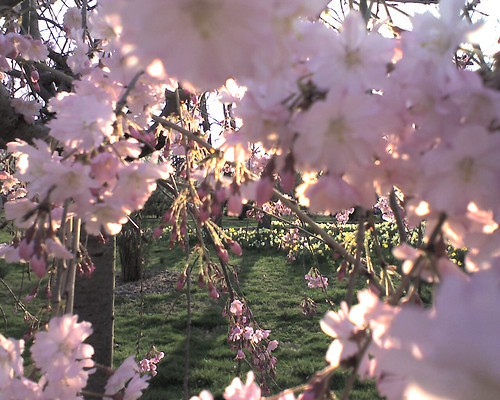 More cherry tree blossom pictures (sakura)