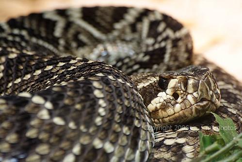 Diamond back rattle snake