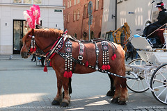 Waiting for its turn (srkirad) Tags: animal horses chariot tourism krakow poland winter travel decorated