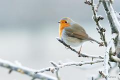 Rotkehlchen 3 (rgr_944) Tags: vögel vogel bird oiseau tiere animaux animals natur outdoor canoneos60deos70deos80d rgr944 rotkehlchen zuhause
