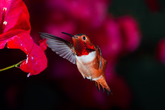 A Little Christmas Color (Patricia Ware) Tags: allenshummingbird backyard birdsinflight bougainvillea california canon ef500mmf4lisusm manhattanbeach multipleflash selasphorussasin tripod httppwarezenfoliocom ©2016patriciawareallrightsreserved specanimal