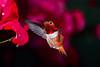 A Little Christmas Color (Patricia Ware) Tags: allenshummingbird backyard birdsinflight bougainvillea california canon ef500mmf4lisusm manhattanbeach multipleflash selasphorussasin tripod httppwarezenfoliocom ©2016patriciawareallrightsreserved specanimal