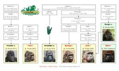 Gorilla Family - Rostock (2016) (W i l l a r d) Tags: gorilla gorille gorila familytree genealogy stammbaum arbregénéalogique rostock zoo assumbo gorgo