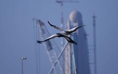 Grey Crowned Crane in Dubai !