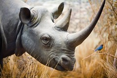 Rhino (by Thomas Hawk)