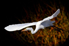 Fly (flopper) Tags: birds bravo flight sfbayarea greategret egrets greategrets interestingness17 animalkingdomelite